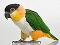 BlackHeadedCaique Female QPi.jpg