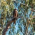 Black Kite, Burke River Boulia Queensland P1030964.jpg
