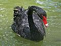 Black Swan SMTC.jpg
