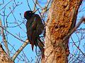 Black Woodpecker, Hokkaido, Japan 1.jpg