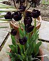 Black tulips at Quex House Birchington Kent England 2.jpg