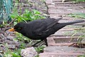 Blackbird 4.jpg