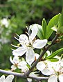 Blackthorn (Prunus spinosa) ? X (4561532204).jpg