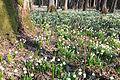 Bledule jarní v PR Králova zahrada 25.jpg