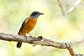 Blue-capped Rock-thrush 2 @ Kakkadampoil 2-2-14.jpg