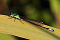 Blue-tailed damselfly (Ischnura elegans) immature male.jpg