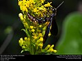 Blue-winged wasp (Scoliidae, Scolia dubia) (30929637561).jpg