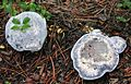 Blue Gray Fungi 01.jpg