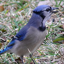 Blue Jay-27527-2.jpg