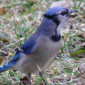 A Blue Jay (Cyanocitta cristata) eating peanut...