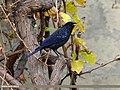 Blue Whistling Thrush (Myophonus caeruleus) (15707470708).jpg