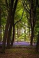 Bluebells - Dockey Woods - Ashridge Estate - Chilterns (49898652688).jpg