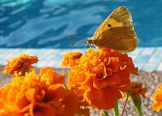 Bolboreta 03-08-2006 Bastavales Galicia 4.jpg