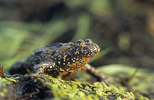 Toad - European fire-bellied toad (Bombina bombina)