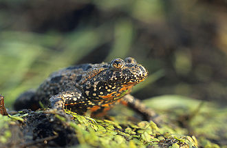 Out of Doors (Bartók) - The Hungarian Unka frog Bombina bombina, whose call is imitated in The Night's Music. After making a first noisy appearance in bar 6, he is featured throughout the piece, disregarding metre and tonality, ribbiting a last time in bar 70 before finally hopping off.