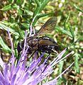 Bombyliidae - Flickr - gailhampshire (2).jpg