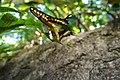 Borboleta Heraclides Thoas Brasiliensis.jpg