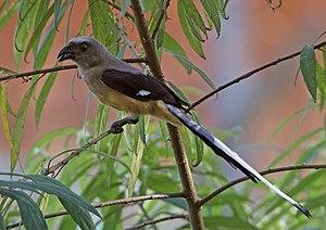 Bornean treepie - Image: Bornean Treepie (Dendrocitta cinerascens)