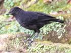 Фотография равномерно матовой черной птицы на обочине дороги