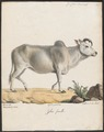 Bos indicus - 1700-1880 - Print - Iconographia Zoologica - Special Collections University of Amsterdam - UBA01 IZ21200131.tif