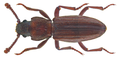 Bothrideres bipunctatus (Gmelin, 1790) Syn.- Bothrideres contractus (Fabricius, 1792) (25955805961).png