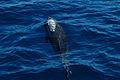 Bottlenose dolphin (4201797473).jpg