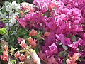 Bougainvillea from lalbagh 2189.JPG