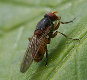 食蚜蝇科分类