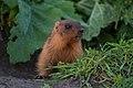 Brandushkin Yar, small marmot.jpg