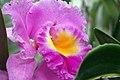 Brassolaeliocattleya Meditation Lahaina Lipstick II x Brassolaeliocattleya Good News 0zz.jpg