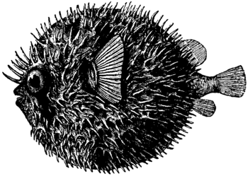 Britannica Globe-fish Diodon maculatus inflated.png