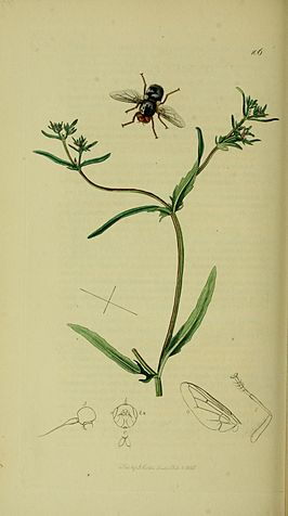 Pharyngomyia picta