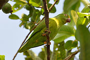 A green parrot with a light-green underside, yellow forehead, and white eye-spots