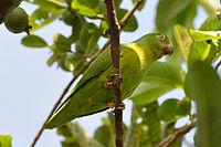 Brotogeris sanctithomae -Uarini, Amazonas, Brasil-8
