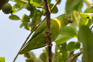 Tui parakeet species of bird