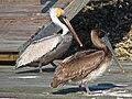 Brown Pelican (Pelecanus occidentalis) RWD3.jpg