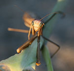 Brown Praying Mantis Archimantis latistyla (1039) - Relic38.jpg