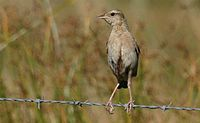 Brown Songlark M- Barridine - May 04 230