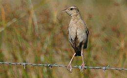 Brown Songlark M- Barridine - May 04 230