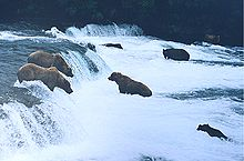 Brown bears brooks falls.jpg