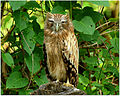 Brown fishh owl by N A Nazeer.jpg