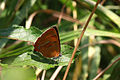 Brown hairstreak butterfly (Thecla betulae) female.jpg