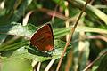 Brown hairstreak butterfly (Thecla betulae) female.jpg