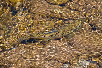 Brown trout - Brown trout in a creek