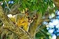 Brushtail Possum - AndrewMercer IMG40144.jpg