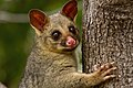 Brushtail Possum IMG 5005.jpg