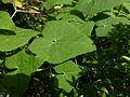 Bryonia verrucosa 0603.jpg