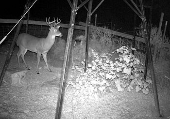Young Male Deer in Central Texas at night. Cro...