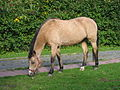 Buckskin New Forest pony.JPG
