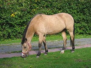 Buckskin (horse) - Buckskin New Forest pony